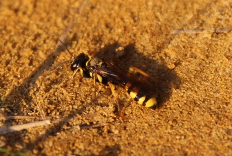 Solitary Wasp