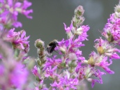 Diptera on Purple Loosestrife