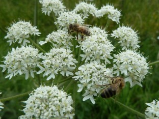 Apiaceae with Honeybee