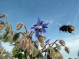 Red tailed bumble bee on Borage